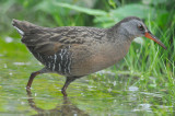 grayish virginia rail great meadows