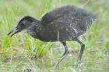 juv virginia rail great meadows