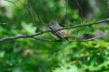 ? myiarchus flycatcher ? rough meadows was so light under side doubt great crested