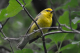 possible back cross Blue-wingedXGolden-winged warbler massport trail concord
