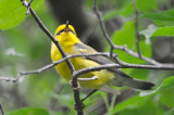 possible back cross Blue-wingedXGolden-winged warbler hybrid  massport trail concord