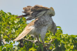 very light 1st yr Red Tailed Hawk Plum Island