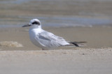 1st yr Forsters Tern Sandy Point Plum Island