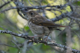 juv hermit thrush schoonic point maine