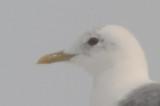 Mew Gull Thomaston Maine