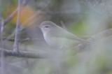 warbling vireo SPLFarm ebird record shot