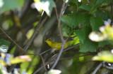 canada warbler SPL Farm ebird record shot