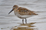 Dunlin, still in mostly juv plumage