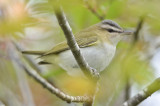 Red Eye Vireo Plum Island