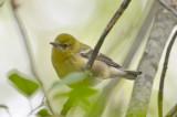Pine Warbler Plum Island