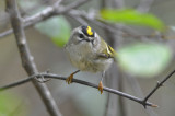 Golden Crowned Kinglet Plum Island