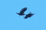 2 Ravens locking claws Maple Meadow brook Wilmington