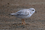 partial luecestic Piping Plover? Sandy [oint plum Island