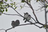 family of eastern kingbirds plum island