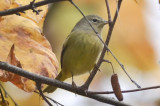 orange-crowned warbler Salisbury