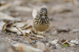 very dark Pipit Spencer Pierce