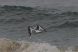 juv little gull King's beach lynn