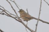 ipswich sparrow salisbury sp