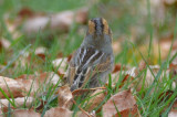 Nelson's sparrow my guess is this bird is of the sub-species alterus. mystic lakes winchester