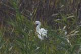 late snowy egret plum island
