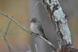 Eastern wood pewee late bell's neck conservation area harwich