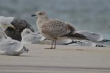 lesser black-backed gull sandy point plum island