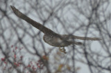 large accipiter plum island