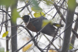 so called black-backed robin, possibility of northern subspecies middleton community gardens