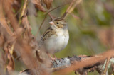 clay-colored sparrow middleton community gardens