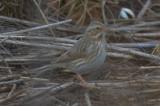 ipswich sparrow plum island