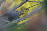 western tanager rockport mass