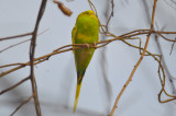 budgie  parakeet hunters conservation land tyngsboro