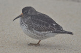 purple sandpiper sandy point plum island