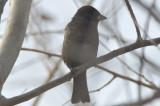 melanistic house sparrow belle Island