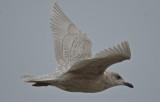 iceland gull (kumliens) revere