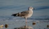 lesser black-backed gull revere beach