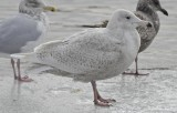 glaucous gull umass lowell boathouse merrimac river