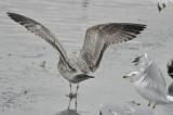 gull 3