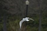 bonapartes gull umass lowell boat ramp