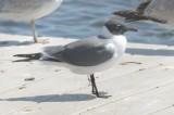 laughing gull lowell umass boat ramp