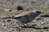 american pipit topsfield fair grounds bird record shot