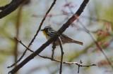 ebird record shot yellow-throated warbler nahanton park