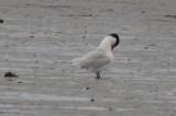 caspian terns salisbury ebird record shot