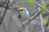 lawrence's warbler plum island