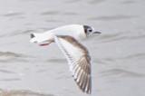 little gull ebird record shot - super cropped Joppa Park Newburyport