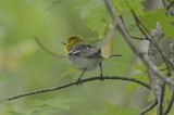 yellow throated vireo bolton flats