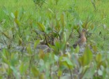 record shot 2 of 4 long-billed dowitchers bolton flats