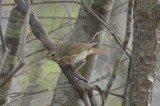 hermit or swainson's? Spectacles yet reddish tail??????? best left unid'ed