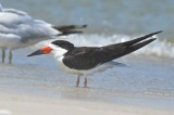 black skimmer sandy point plum island