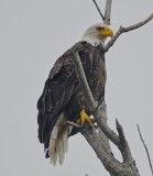 bald eagle parker river 1a
